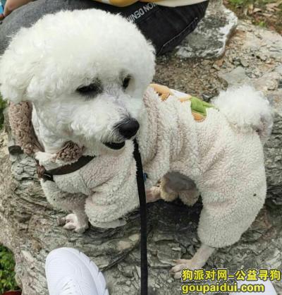 苏州寻狗启示,比熊走失,请各位好心人帮忙,它是一只非常可爱的宠物狗狗,希望它早日回家,不要变成流浪狗。