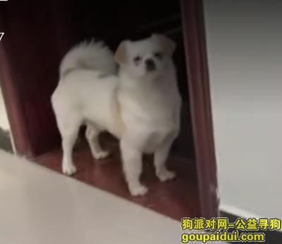 ,渭南市合阳县洽川镇丢失了一条黄白相间的小狗,它是一只非常可爱的宠物狗狗,希望它早日回家,不要变成流浪狗。