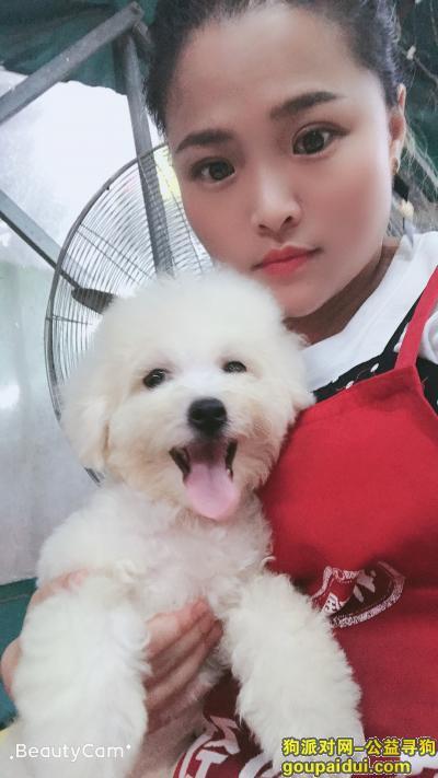 佛山寻狗,白色比熊,5月8号走失,它是一只非常可爱的宠物狗狗,希望它早日回家,不要变成流浪狗。