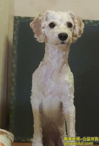 合肥找狗,5月12日晚八点半丢失 好心人找到请联系我!!,它是一只非常可爱的宠物狗狗,希望它早日回家,不要变成流浪狗。
