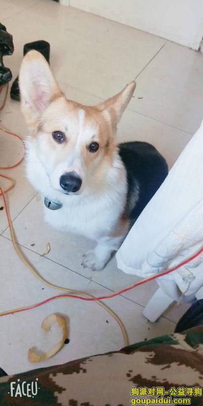 ,家里的柯基丢了,好心人看到请联系。,它是一只非常可爱的宠物狗狗,希望它早日回家,不要变成流浪狗。