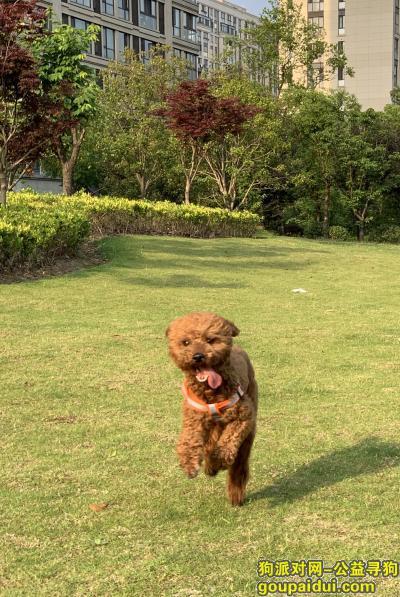 杭州寻狗启示,5.11晚云栖竹径附近捡到一只泰迪,它是一只非常可爱的宠物狗狗,希望它早日回家,不要变成流浪狗。