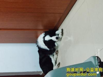 南京寻狗启示,寻八卦洲黑白边牧一条,酬谢,它是一只非常可爱的宠物狗狗,希望它早日回家,不要变成流浪狗。