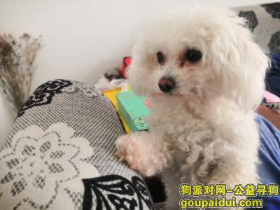 镇江找狗,2020.5.12丢失白色比熊 雌性 叫奥利奥本人很着急(酬金1000),它是一只非常可爱的宠物狗狗,希望它早日回家,不要变成流浪狗。