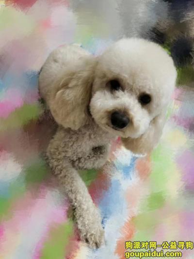 """哈尔滨寻狗网,寻找香槟色泰迪犬名字叫""""""""小米"""",它是一只非常可爱的宠物狗狗,希望它早日回家,不要变成流浪狗。"""