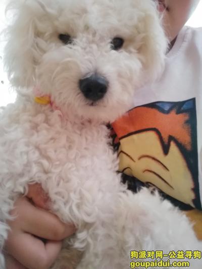 ,寻找一只白色比熊小狗狗,它是一只非常可爱的宠物狗狗,希望它早日回家,不要变成流浪狗。