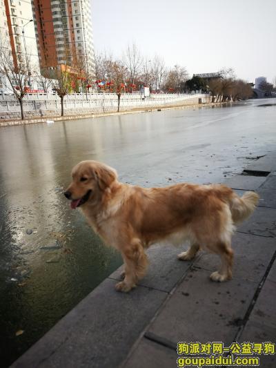 ,重金寻狗,浅黄胖金毛叫小七,13854780908,它是一只非常可爱的宠物狗狗,希望它早日回家,不要变成流浪狗。