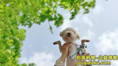 ,渝中区鹅岭捡到的比熊弟弟,它是一只非常可爱的宠物狗狗,希望它早日回家,不要变成流浪狗。