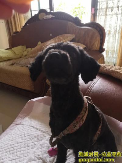 广安寻狗启示,寻一只剃毛很干净的黑色泰迪,它是一只非常可爱的宠物狗狗,希望它早日回家,不要变成流浪狗。