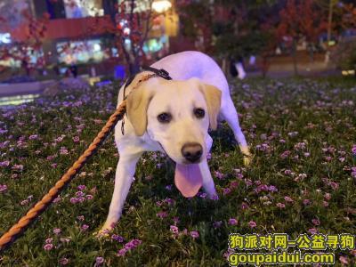 ,沙坪坝沙杨路公交站附近丢失成年拉布拉多犬,它是一只非常可爱的宠物狗狗,希望它早日回家,不要变成流浪狗。