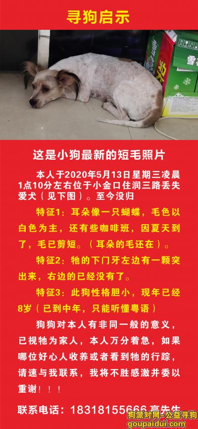 惠州寻狗网,惠州小金口谁家的狗走丢了,它是一只非常可爱的宠物狗狗,希望它早日回家,不要变成流浪狗。