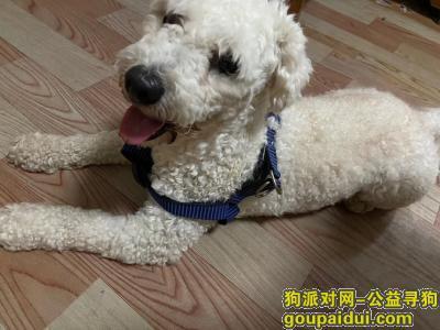 邯郸找狗,和平路夜市捡到一白色比熊,它是一只非常可爱的宠物狗狗,希望它早日回家,不要变成流浪狗。