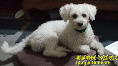 【上海找狗】,寻狗启示 白色比熊犬,它是一只非常可爱的宠物狗狗,希望它早日回家,不要变成流浪狗。