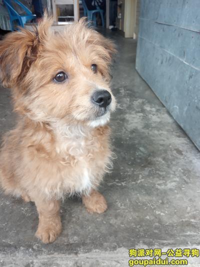 惠州寻狗启示,麻烦看到了,请联系我!,它是一只非常可爱的宠物狗狗,希望它早日回家,不要变成流浪狗。