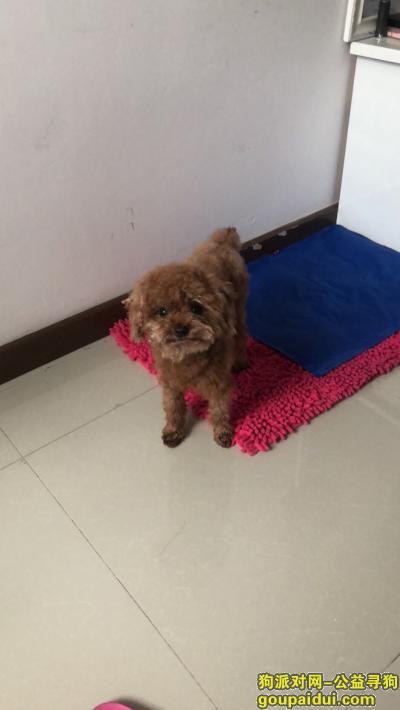 ,棕色小泰迪月亮湾公园走失,它是一只非常可爱的宠物狗狗,希望它早日回家,不要变成流浪狗。