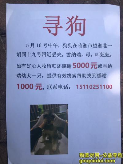 益阳丢狗,临湘市望湘巷一胡同十九号酬谢五千元寻找雪纳瑞,它是一只非常可爱的宠物狗狗,希望它早日回家,不要变成流浪狗。