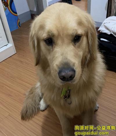 ,本人于2020年5月16日下午两点左右, 在东湖中百仓储旁,东湖公园桥头。丢失一只金毛犬。,它是一只非常可爱的宠物狗狗,希望它早日回家,不要变成流浪狗。