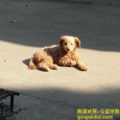 常州丢狗,寻找可爱泰迪狗(13861059664),它是一只非常可爱的宠物狗狗,希望它早日回家,不要变成流浪狗。