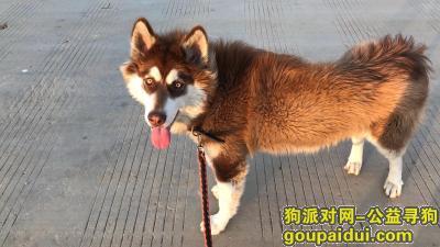 昆明寻狗网,2020年5月18号晚上十点 昆明肖家营村丢失棕红色阿拉斯加  体重五十公斤,它是一只非常可爱的宠物狗狗,希望它早日回家,不要变成流浪狗。