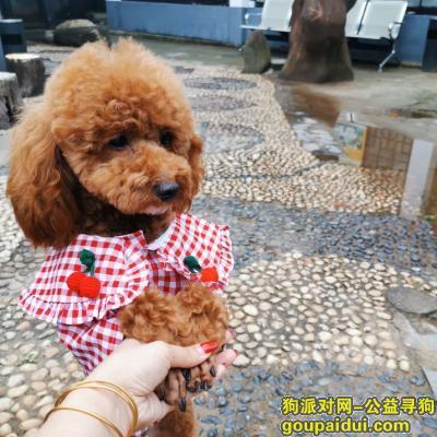 长沙丢狗,重金寻狗,卷卷,母泰迪,希望好心人拾到归还与我,必有重谢,它是一只非常可爱的宠物狗狗,希望它早日回家,不要变成流浪狗。