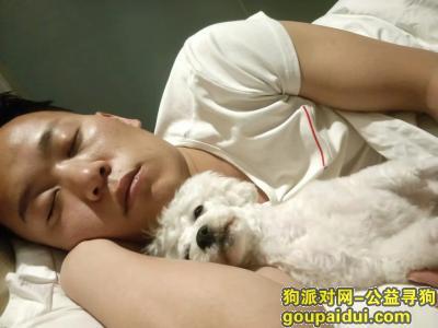 【西安找狗】,龙首村附近寻找爱犬比熊回家,它是一只非常可爱的宠物狗狗,希望它早日回家,不要变成流浪狗。
