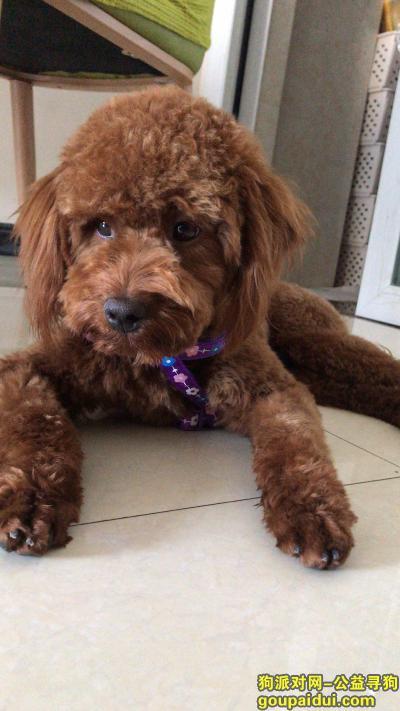 【成都捡到狗】,犀浦天河路公泰迪无断尾,它是一只非常可爱的宠物狗狗,希望它早日回家,不要变成流浪狗。