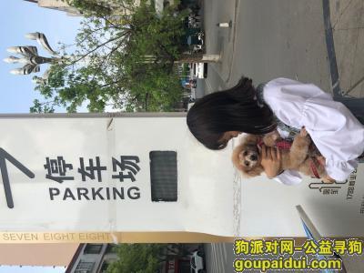 【成都找狗】,一只棕色泰迪狗希望哪位好心人看到帮忙一下,它是一只非常可爱的宠物狗狗,希望它早日回家,不要变成流浪狗。