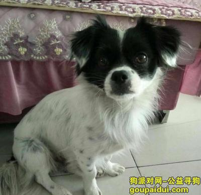 【临沂找狗】,中华田园黑白犬,急寻爱犬,它是一只非常可爱的宠物狗狗,希望它早日回家,不要变成流浪狗。