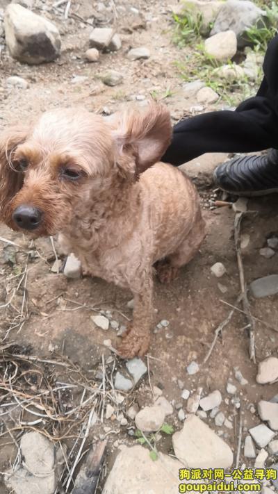 【北京捡到狗】,十三陵水库迷路的泰迪狗,它是一只非常可爱的宠物狗狗,希望它早日回家,不要变成流浪狗。