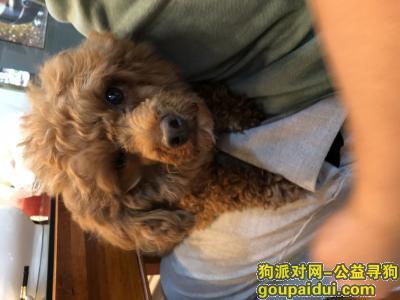 【上海捡到狗】,红棕色泰迪 母【5.23日捡到】寻找主人,它是一只非常可爱的宠物狗狗,希望它早日回家,不要变成流浪狗。