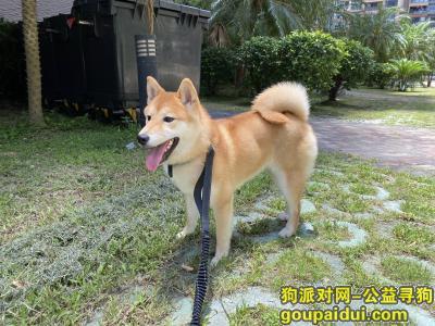 【深圳找狗】,寻找爱犬柴犬Molly,它是一只非常可爱的宠物狗狗,希望它早日回家,不要变成流浪狗。