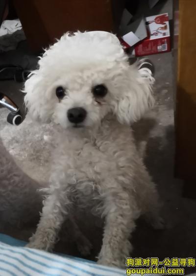【济南找狗】,寻狗启示短毛比熊小四,它是一只非常可爱的宠物狗狗,希望它早日回家,不要变成流浪狗。