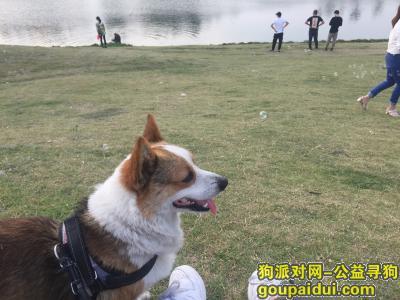 泉州寻狗网,泉州市惠安县黄塘镇溪东村找狗(柯基)公 名字:小帅,它是一只非常可爱的宠物狗狗,希望它早日回家,不要变成流浪狗。