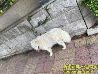 泉州寻狗启示,在洛江电校门口捡到一只萨摩耶  保安说好几天没有吃东西。就先带回家,它是一只非常可爱的宠物狗狗,希望它早日回家,不要变成流浪狗。