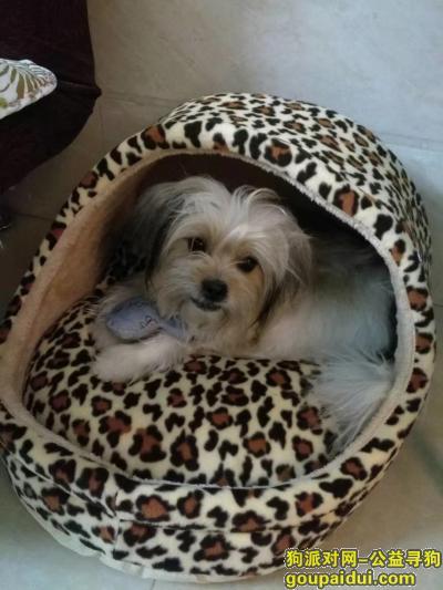 【广州找狗】,寻找雄性西施犬一条,体型不大(13斤左右,丢失后应该会瘦),它是一只非常可爱的宠物狗狗,希望它早日回家,不要变成流浪狗。
