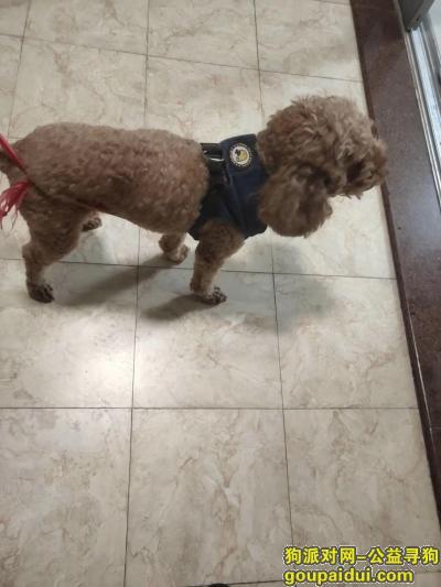 广州寻狗主人,广州黄埔科学城捡到一条贵宾犬,它是一只非常可爱的宠物狗狗,希望它早日回家,不要变成流浪狗。