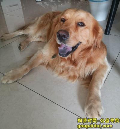 南京寻狗主人,句容茅山温泉酒店附近捡到金毛一只,它是一只非常可爱的宠物狗狗,希望它早日回家,不要变成流浪狗。