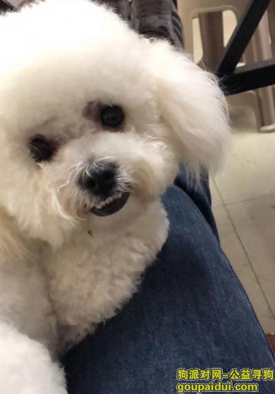 ,白色母比熊 1岁 牙齿地包天刚修毛了的,它是一只非常可爱的宠物狗狗,希望它早日回家,不要变成流浪狗。