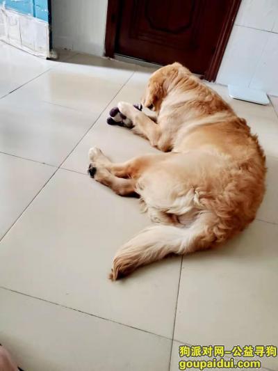 南宁寻狗启示,寻狗启示,金毛,母,毛发卷,黄色,它是一只非常可爱的宠物狗狗,希望它早日回家,不要变成流浪狗。