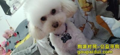 【大理找狗】,名叫团子,一直白色的小泰迪,5月11日晚不慎在下兑村跑丢,它是一只非常可爱的宠物狗狗,希望它早日回家,不要变成流浪狗。