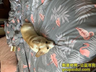 徐州找狗,徐州丰县,双色柯基丢失,望看到者请联系,它是一只非常可爱的宠物狗狗,希望它早日回家,不要变成流浪狗。