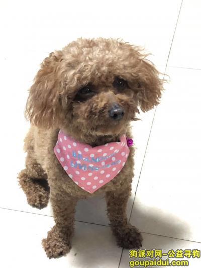 【雅安找狗】,找泰迪狗狗KT,母狗狗,2020年6月2日下午5点过在雅安万达广场走丢,希望检到的爱心人,联系我,谢谢。,它是一只非常可爱的宠物狗狗,希望它早日回家,不要变成流浪狗。
