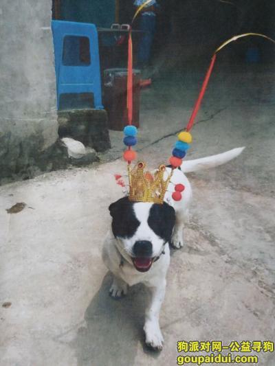 【贵阳找狗】,串串,18斤。奶牛花,叫福巴,它是一只非常可爱的宠物狗狗,希望它早日回家,不要变成流浪狗。