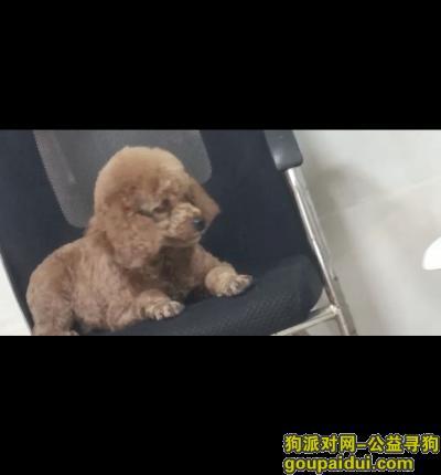无锡找狗,寻狗一只母泰迪犬,非常着急!,它是一只非常可爱的宠物狗狗,希望它早日回家,不要变成流浪狗。