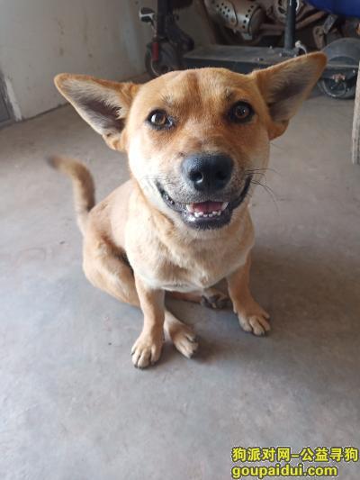 内江找狗,一直土狗,叫小黄黄。一岁都没有,黄毛,尾巴是卷的,它是一只非常可爱的宠物狗狗,希望它早日回家,不要变成流浪狗。