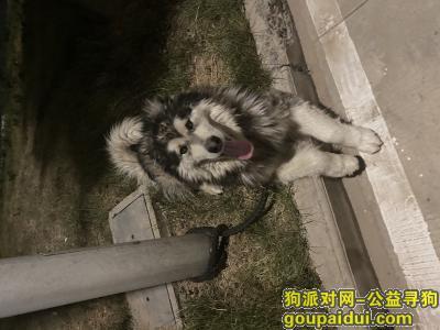 【鹤壁捡到狗】,捡到灰色桃脸阿拉斯加一只,它是一只非常可爱的宠物狗狗,希望它早日回家,不要变成流浪狗。