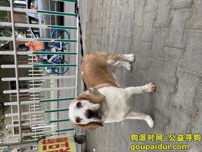【包头捡到狗】,内蒙古包头青山团结肿瘤医院附近捡到一只比格(目测),有丢失的朋友速速与我联系!,它是一只非常可爱的宠物狗狗,希望它早日回家,不要变成流浪狗。