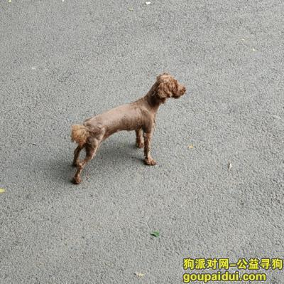 北京丢狗,泰迪石景山古城南路附近走丢,它是一只非常可爱的宠物狗狗,希望它早日回家,不要变成流浪狗。