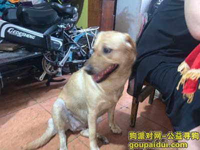 上海寻狗启示,拉布拉多犬 跟我家秋田一起回来的,它是一只非常可爱的宠物狗狗,希望它早日回家,不要变成流浪狗。