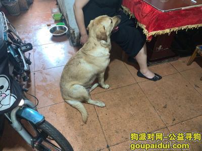 【上海找狗】,拉布拉多犬,跟我家狗狗一起来到我家的,它是一只非常可爱的宠物狗狗,希望它早日回家,不要变成流浪狗。